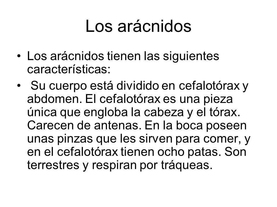 Los arácnidos Los arácnidos tienen las siguientes características: Su cuerpo está dividido en cefalotórax y abdomen. El cefalotórax es una pieza única