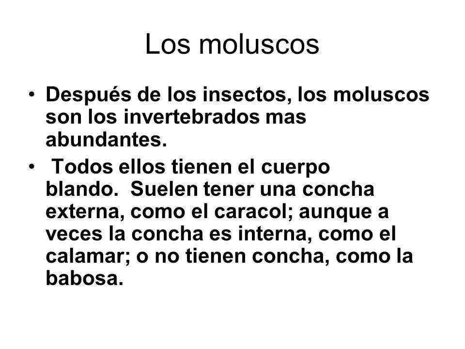 Los moluscos Después de los insectos, los moluscos son los invertebrados mas abundantes. Todos ellos tienen el cuerpo blando. Suelen tener una concha