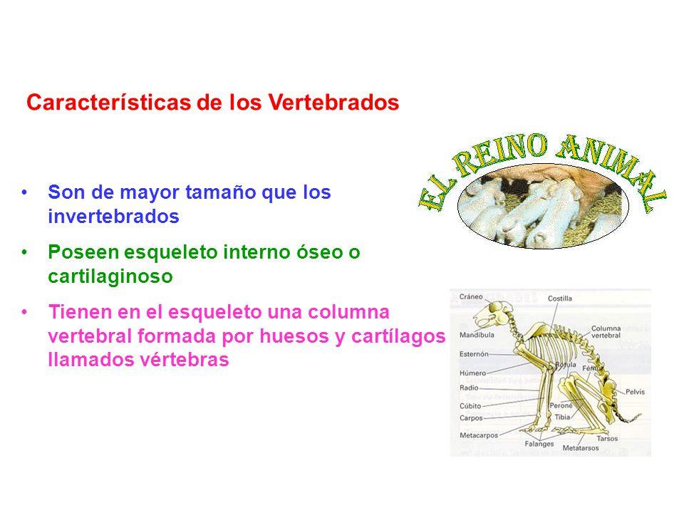 Son de mayor tamaño que los invertebrados Poseen esqueleto interno óseo o cartilaginoso Tienen en el esqueleto una columna vertebral formada por hueso