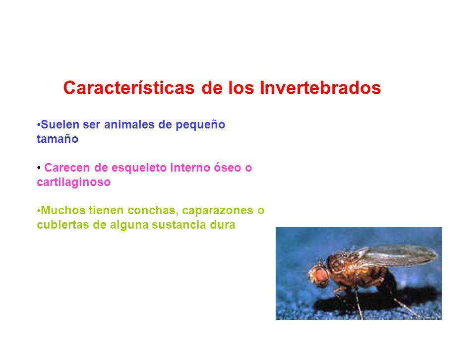 Características de los Invertebrados Suelen ser animales de pequeño tamaño Carecen de esqueleto interno óseo o cartilaginoso Muchos tienen conchas, ca