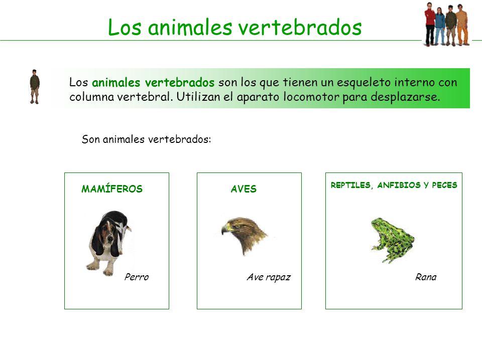 Los animales vertebrados Los animales vertebrados son los que tienen un esqueleto interno con columna vertebral. Utilizan el aparato locomotor para de