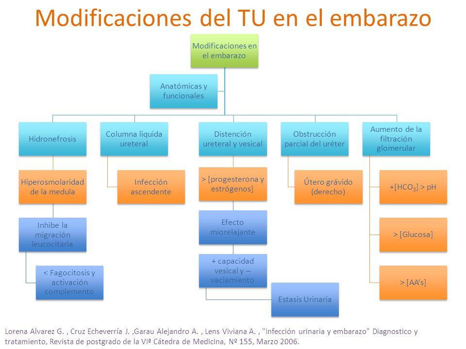 Modificaciones del TU en el embarazo Modificaciones en el embarazo Hidronefrosis Hiperosmolaridad de la medula Inhibe la migración leucocitaria < Fagocitosis y activación complemento Columna liquida ureteral Infección ascendente Distención ureteral y vesical > [progesterona y estrógenos] Efecto miorelajante + capacidad vesical y – vaciamiento Estasis Urinaria Obstrucción parcial del uréter Útero grávido (derecho) Aumento de la filtración glomerular +[HCO 3 ] > pH > [Glucosa] > [AAs] Anatómicas y funcionales Lorena Alvarez G., Cruz Echeverría J.,Garau Alejandro A., Lens Viviana A., Infección urinaria y embarazo Diagnostico y tratamiento, Revista de postgrado de la VIª Cátedra de Medicina, Nº 155, Marzo 2006.