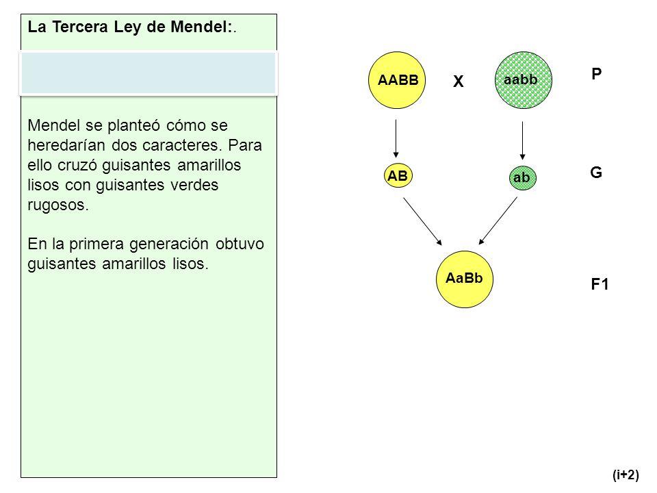 X AABB aabb AB ab AaBb P F1 G (i+2) La Tercera Ley de Mendel:. Ley de la independencia de los caracteres no antagónicos. Mendel se planteó cómo se her