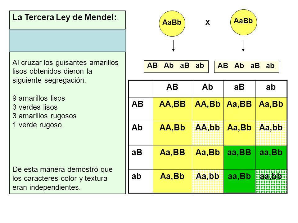 AaBb X ABAbaBab ABAA,BBAA,BbAa,BBAa,Bb AbAA,BbAA,bbAa,BbAa,bb aBAa,BBAa,Bbaa,BBaa,Bb abAa,BbAa,bbaa,Bbaa,bb AB Ab aB ab La Tercera Ley de Mendel:. Ley