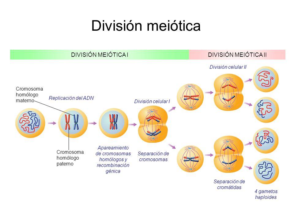 División meiótica DIVISIÓN MEIÓTICA IDIVISIÓN MEIÓTICA II Replicación del ADN Cromosoma homólogo materno Cromosoma homólogo paterno Apareamiento de cromosomas homólogos y recombinación génica Separación de cromosomas División celular I División celular II Separación de cromátidas 4 gametos haploides