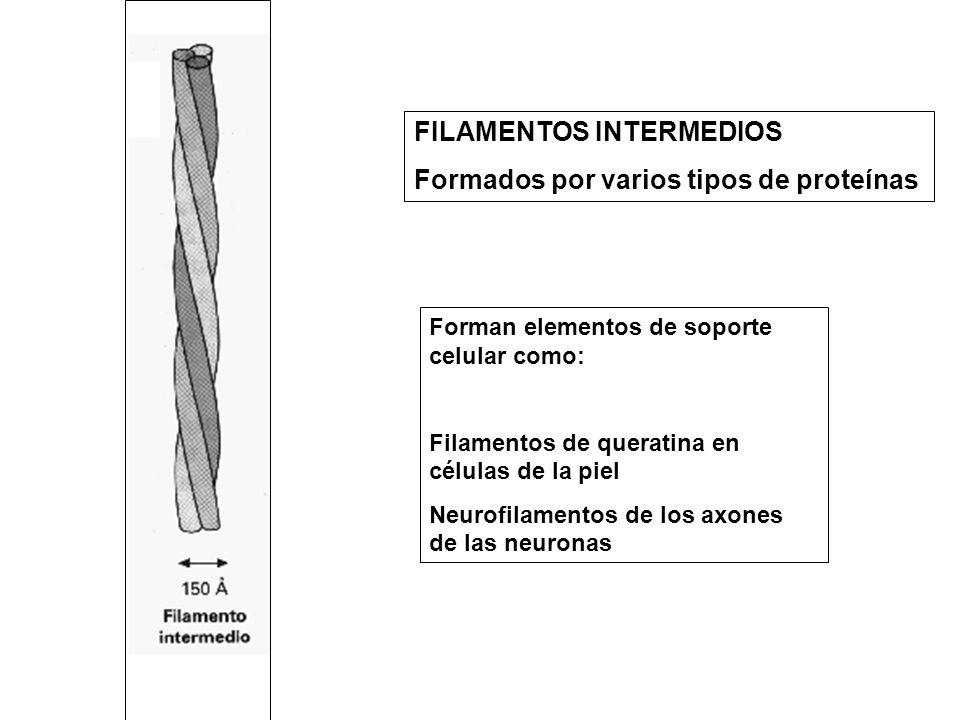 FILAMENTOS INTERMEDIOS Formados por varios tipos de proteínas Forman elementos de soporte celular como: Filamentos de queratina en células de la piel