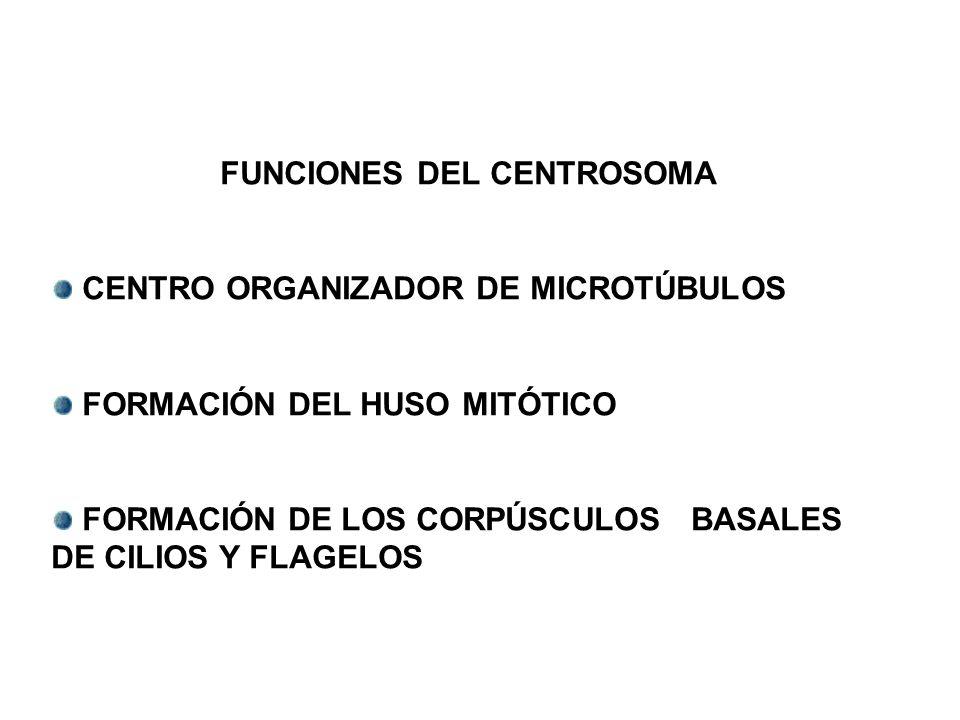 FUNCIONES DEL CENTROSOMA CENTRO ORGANIZADOR DE MICROTÚBULOS FORMACIÓN DEL HUSO MITÓTICO FORMACIÓN DE LOS CORPÚSCULOS BASALES DE CILIOS Y FLAGELOS