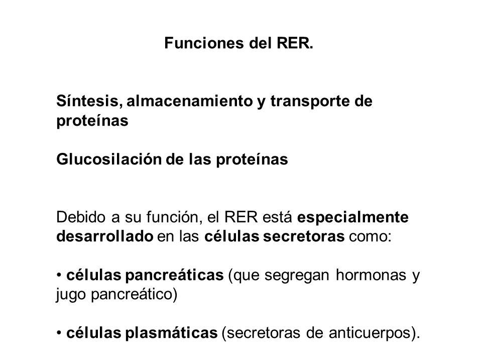 Funciones del RER. Síntesis, almacenamiento y transporte de proteínas Glucosilación de las proteínas Debido a su función, el RER está especialmente de
