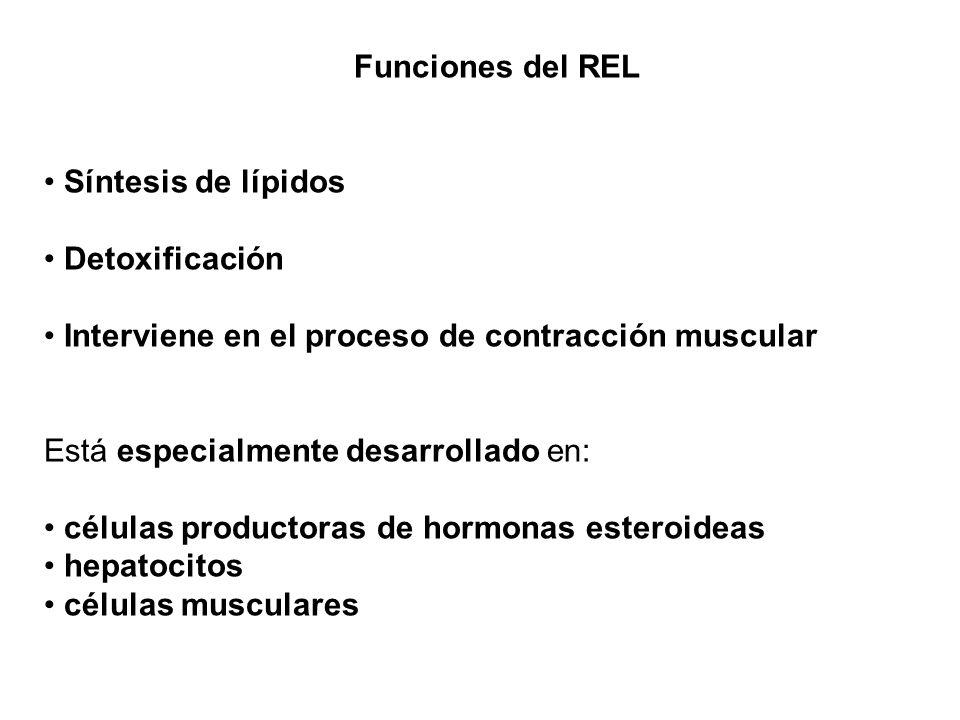 Funciones del REL Síntesis de lípidos Detoxificación Interviene en el proceso de contracción muscular Está especialmente desarrollado en: células prod