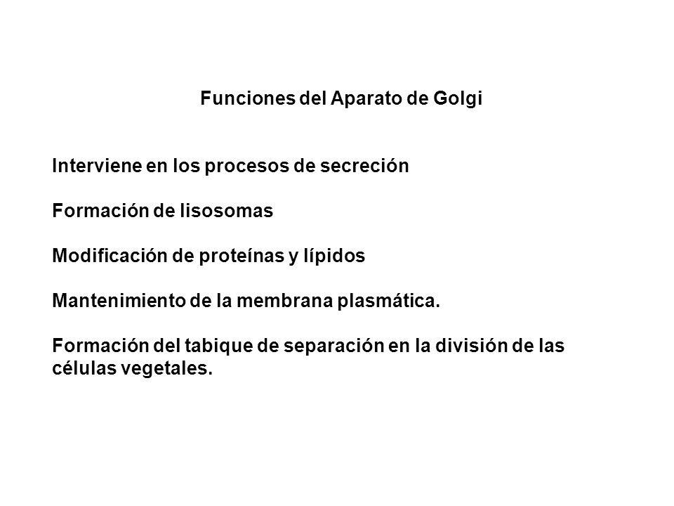 Funciones del Aparato de Golgi Interviene en los procesos de secreción Formación de lisosomas Modificación de proteínas y lípidos Mantenimiento de la