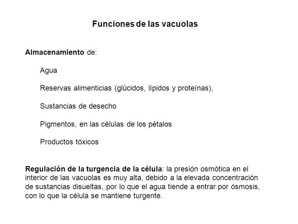 Funciones de las vacuolas Almacenamiento de: Agua Reservas alimenticias (glúcidos, lípidos y proteínas), Sustancias de desecho Pigmentos, en las célul