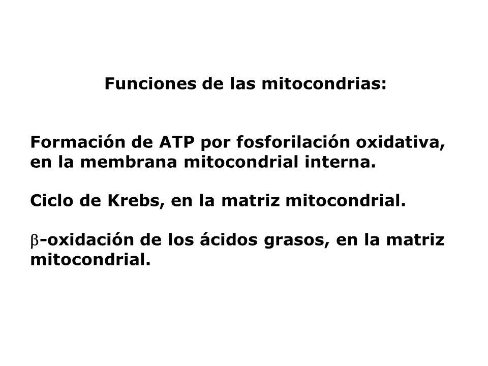 Funciones de las mitocondrias: Formación de ATP por fosforilación oxidativa, en la membrana mitocondrial interna. Ciclo de Krebs, en la matriz mitocon