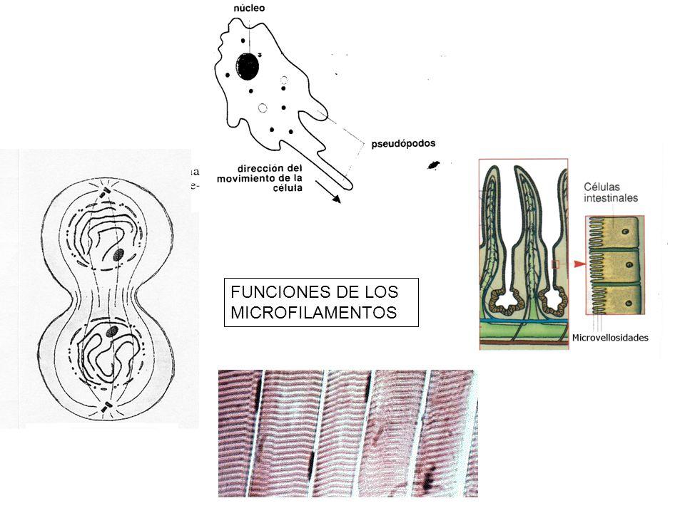 FUNCIONES DE LOS MICROFILAMENTOS