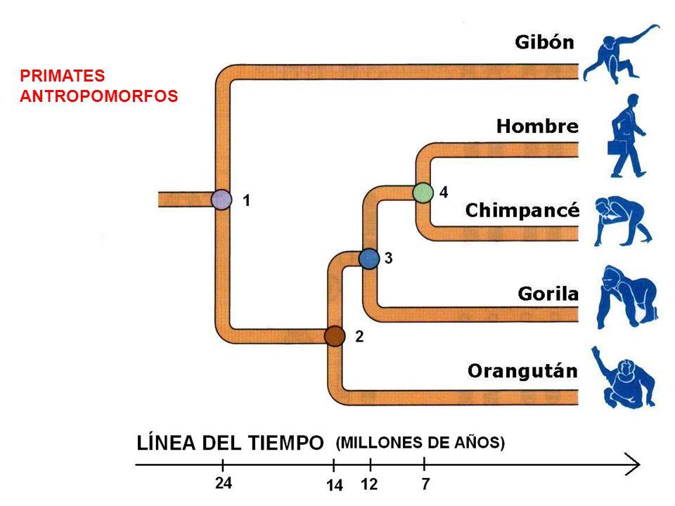 PRIMATES ANTROPOMORFOS