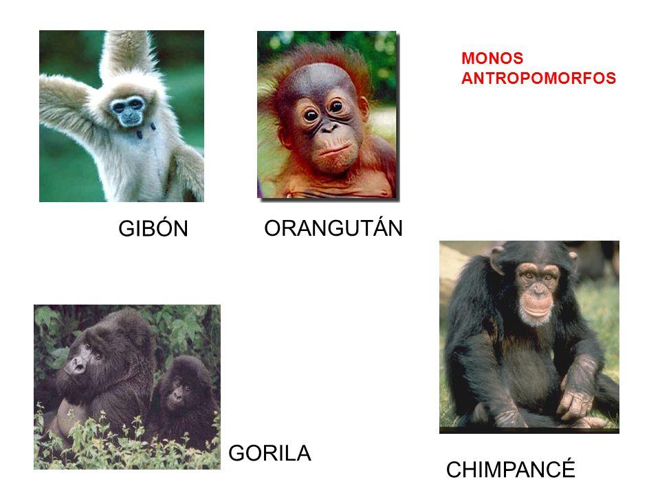GIBÓN ORANGUTÁN GORILA CHIMPANCÉ MONOS ANTROPOMORFOS