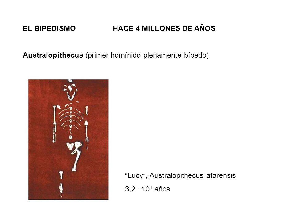 EL BIPEDISMO HACE 4 MILLONES DE AÑOS Australopithecus (primer homínido plenamente bípedo) Lucy, Australopithecus afarensis 3,2 · 10 6 años