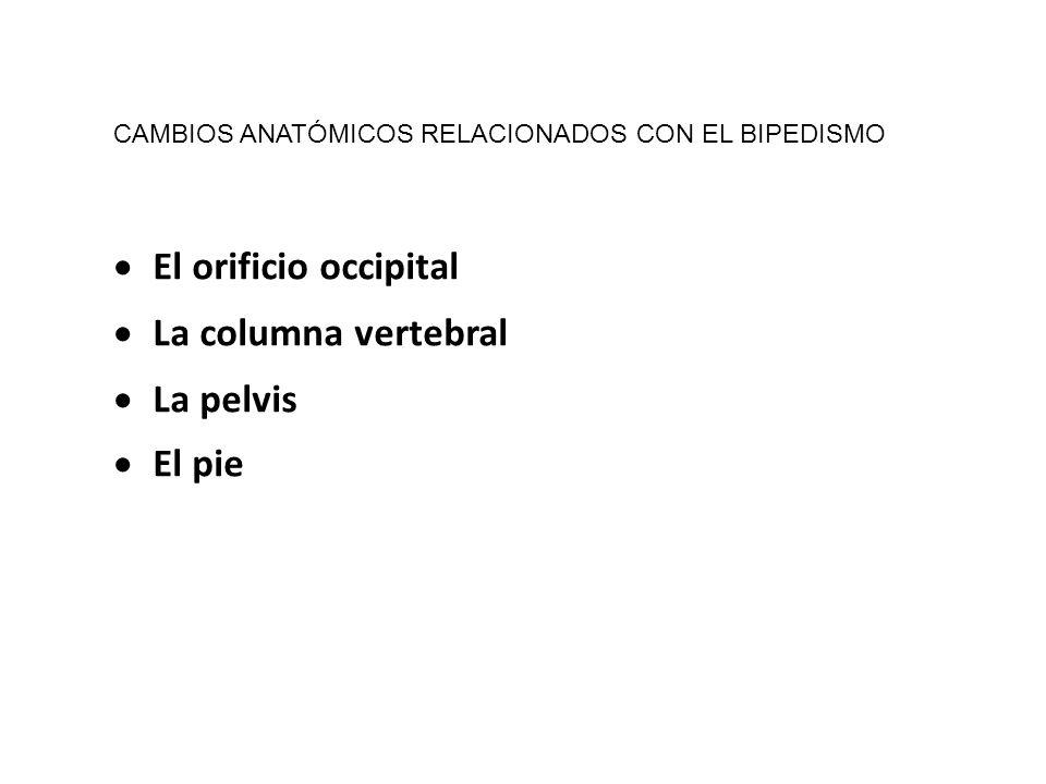 El orificio occipital La columna vertebral La pelvis El pie CAMBIOS ANATÓMICOS RELACIONADOS CON EL BIPEDISMO