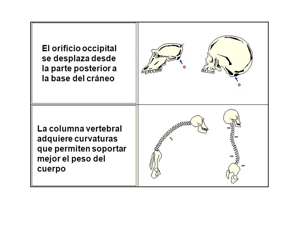 El orificio occipital se desplaza desde la parte posterior a la base del cráneo La columna vertebral adquiere curvaturas que permiten soportar mejor e