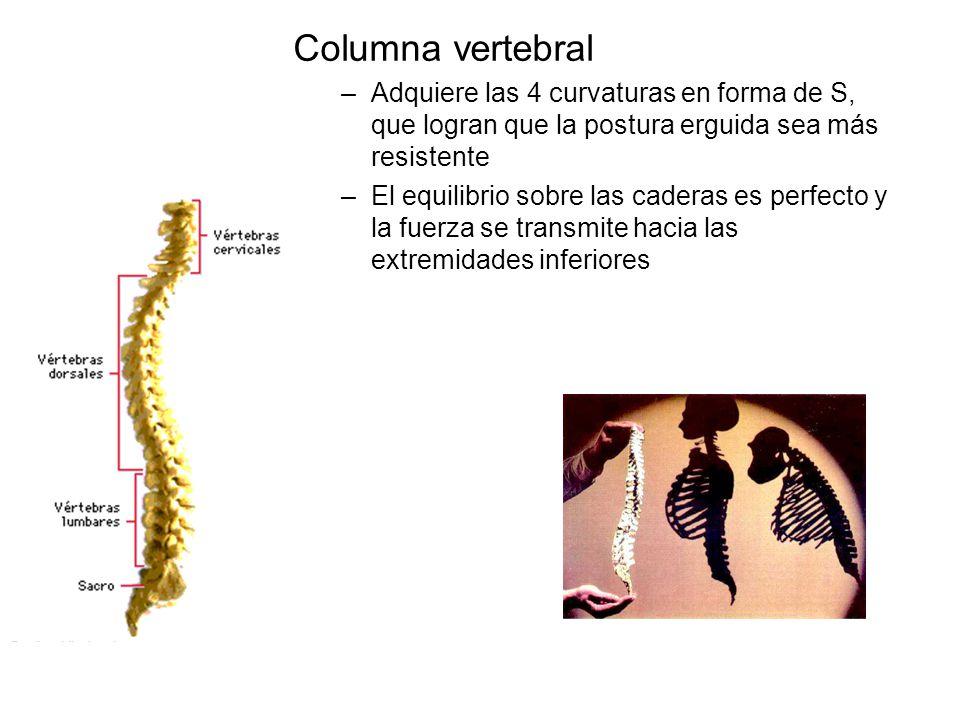 Columna vertebral –Adquiere las 4 curvaturas en forma de S, que logran que la postura erguida sea más resistente –El equilibrio sobre las caderas es p
