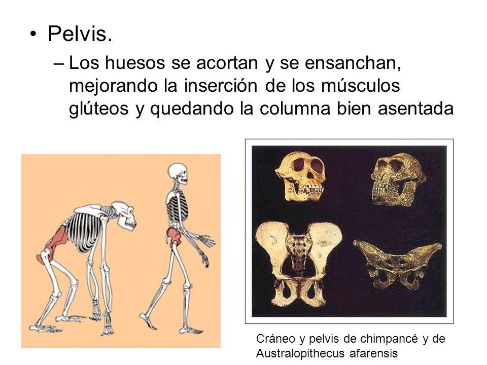 Pelvis. –Los huesos se acortan y se ensanchan, mejorando la inserción de los músculos glúteos y quedando la columna bien asentada Cráneo y pelvis de c