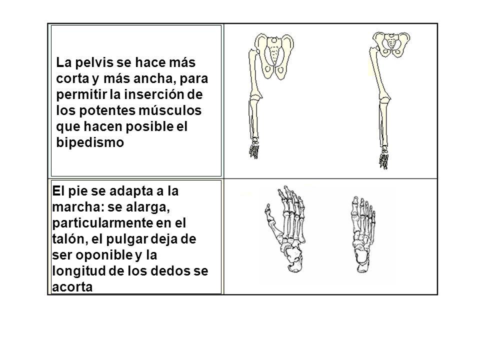 La pelvis se hace más corta y más ancha, para permitir la inserción de los potentes músculos que hacen posible el bipedismo El pie se adapta a la marcha: se alarga, particularmente en el talón, el pulgar deja de ser oponible y la longitud de los dedos se acorta