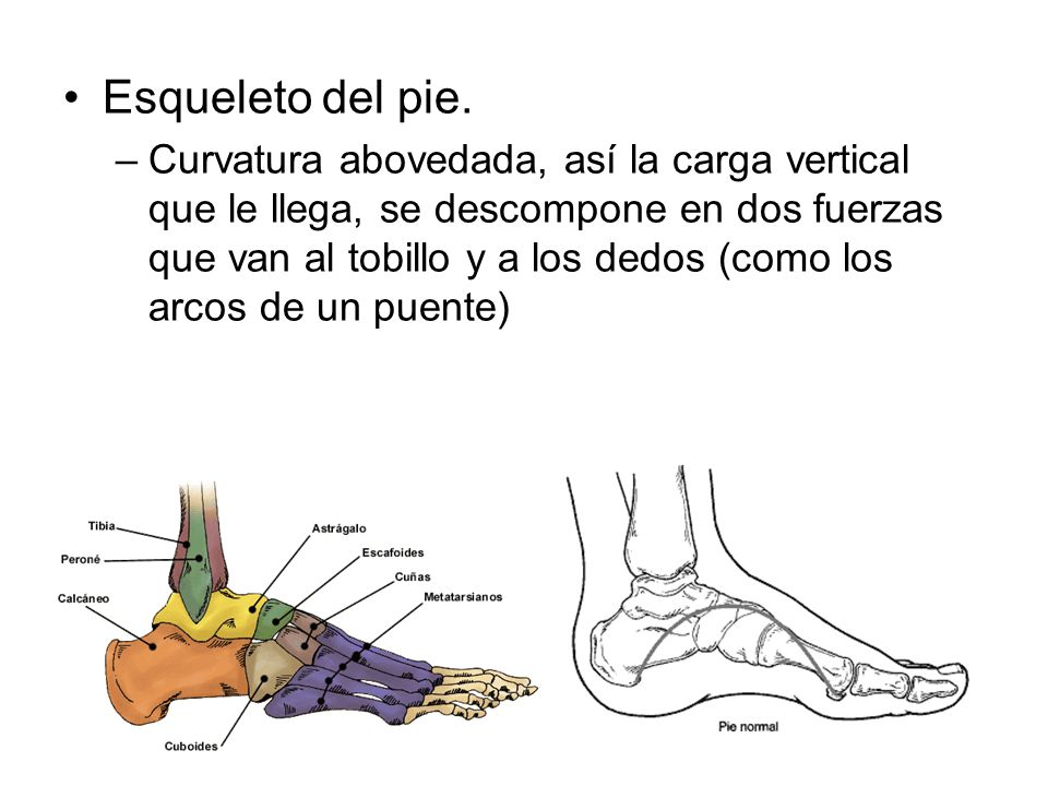 Esqueleto del pie. –Curvatura abovedada, así la carga vertical que le llega, se descompone en dos fuerzas que van al tobillo y a los dedos (como los a