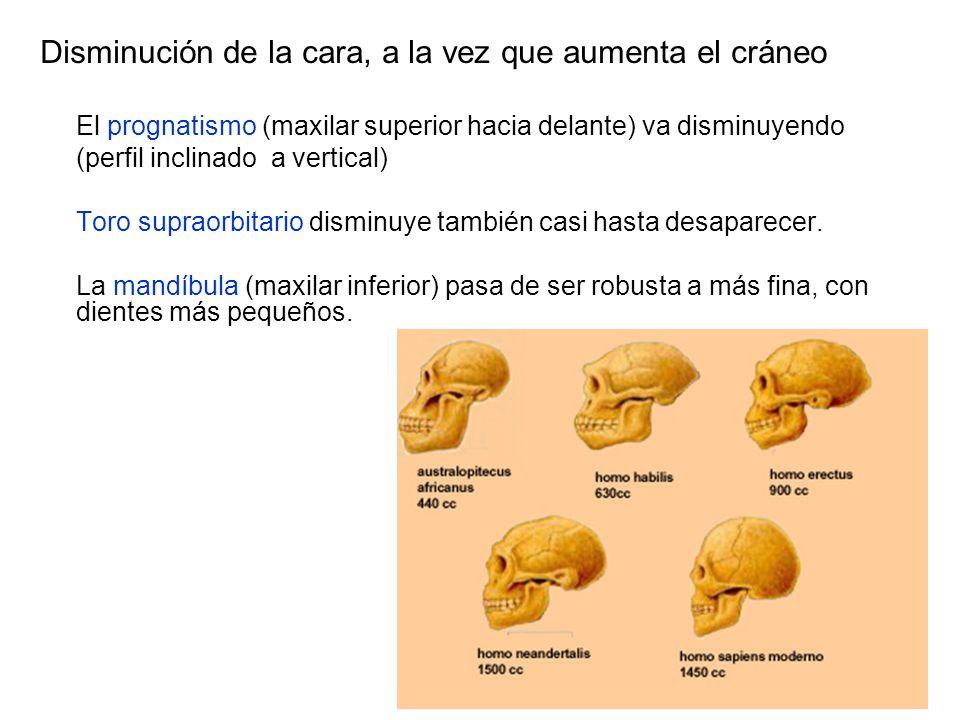 Disminución de la cara, a la vez que aumenta el cráneo El prognatismo (maxilar superior hacia delante) va disminuyendo (perfil inclinado a vertical) T