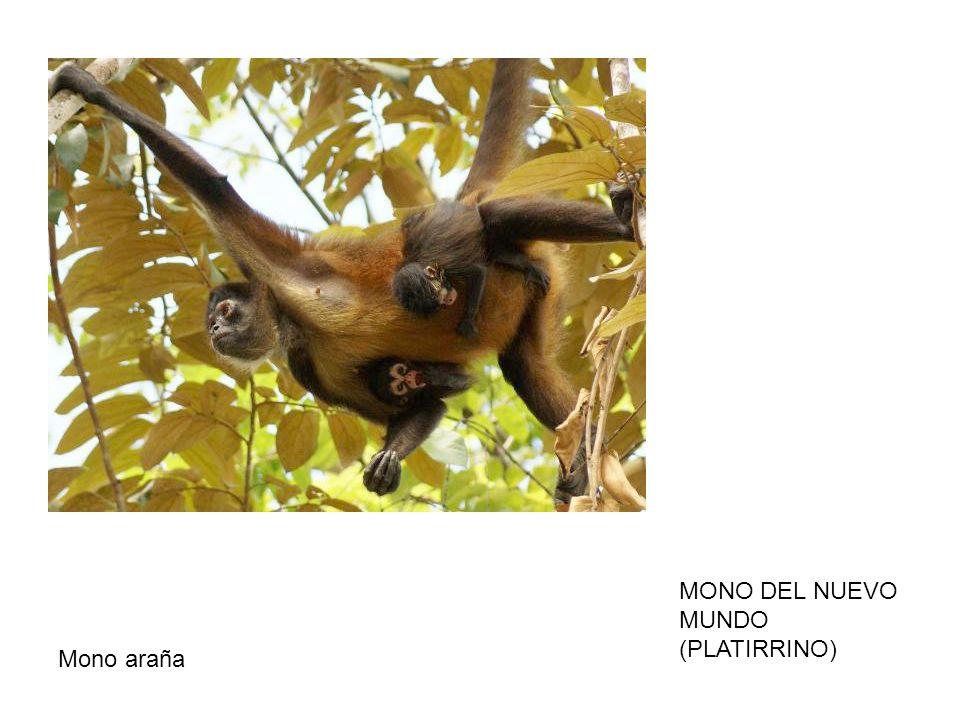 MONO DEL NUEVO MUNDO (PLATIRRINO) Mono araña