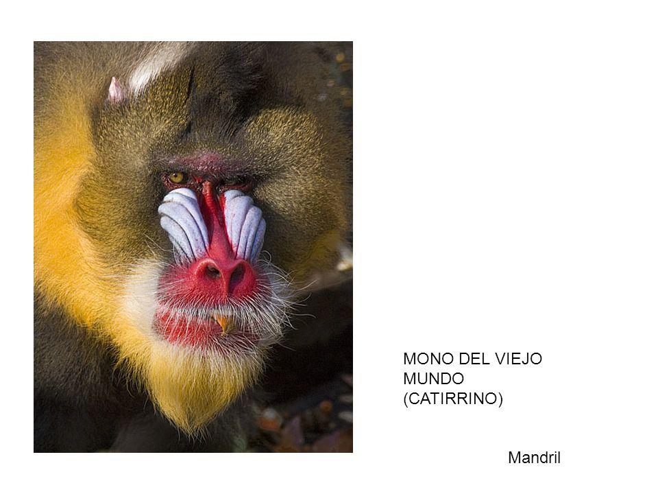 MONO DEL VIEJO MUNDO (CATIRRINO) Mandril