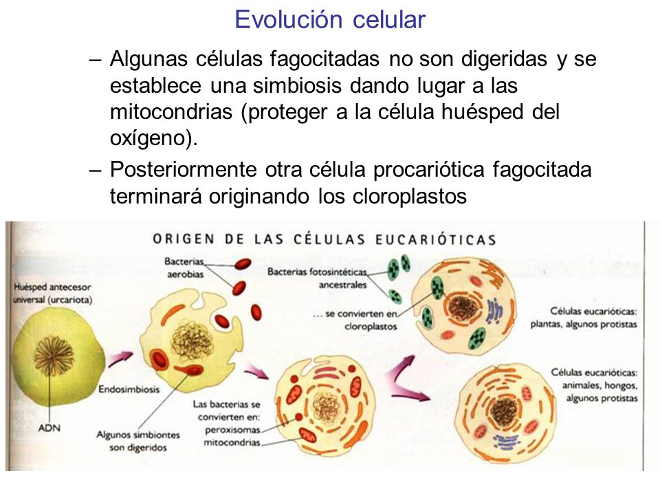 Evolución celular –Algunas células fagocitadas no son digeridas y se establece una simbiosis dando lugar a las mitocondrias (proteger a la célula huésped del oxígeno).