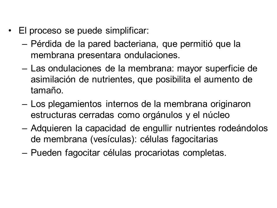 El proceso se puede simplificar: –Pérdida de la pared bacteriana, que permitió que la membrana presentara ondulaciones.