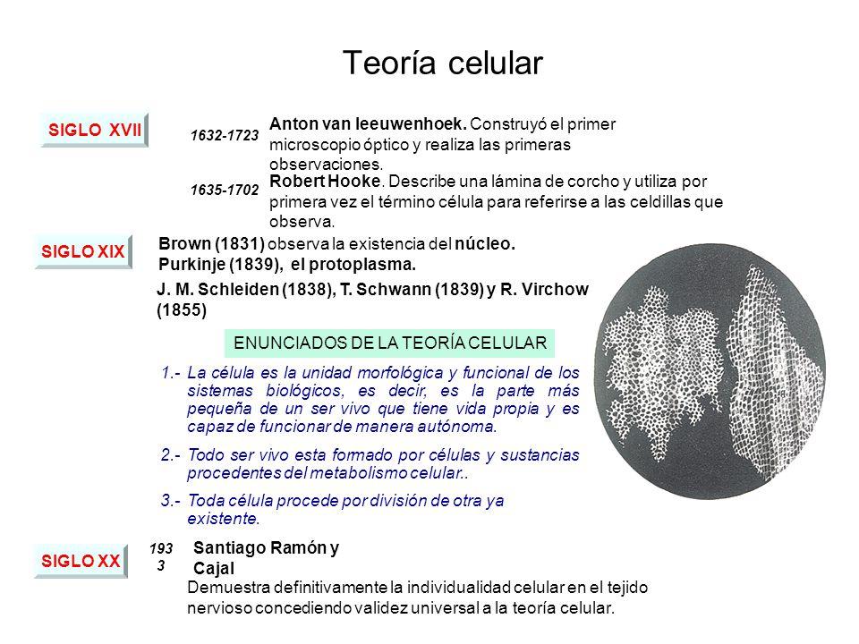 ENUNCIADOS DE LA TEORÍA CELULAR Teoría celular SIGLO XVII 1632-1723 Anton van leeuwenhoek.