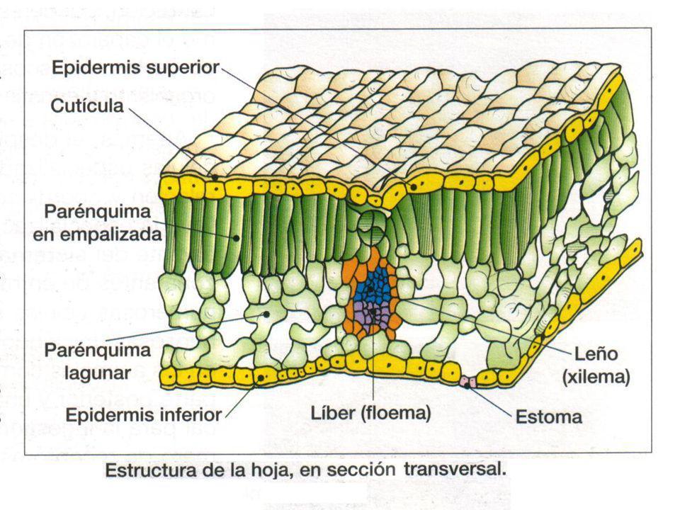 TEJIDOS DE SOSTÉN Refuerzo y soporte de la planta Colénquima: se encuentra en órganos en crecimiento, formado por células vivas y elásticas, con paredes celulares gruesas que con el tiempo se van endureciendo Esclerénquima: en órganos que han dejado de crecer, formado por células muertas con paredes impregnadas de lignina.