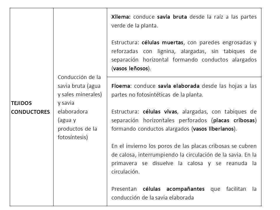 TEJIDOS CONDUCTORES Conducción de la savia bruta (agua y sales minerales) y savia elaboradora (agua y productos de la fotosíntesis) Xilema: conduce sa