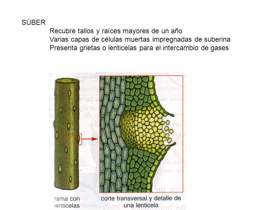 SÚBER Recubre tallos y raíces mayores de un año Varias capas de células muertas impregnadas de suberina Presenta grietas o lenticelas para el intercambio de gases