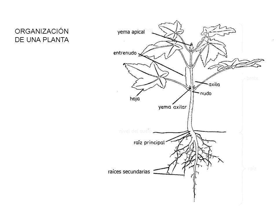 ORGANIZACIÓN DE UNA PLANTA