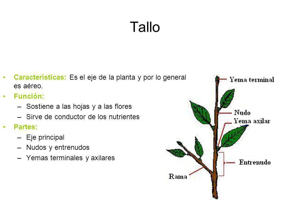 Tallo Características: Es el eje de la planta y por lo general es aéreo. Función: –Sostiene a las hojas y a las flores –Sirve de conductor de los nutr