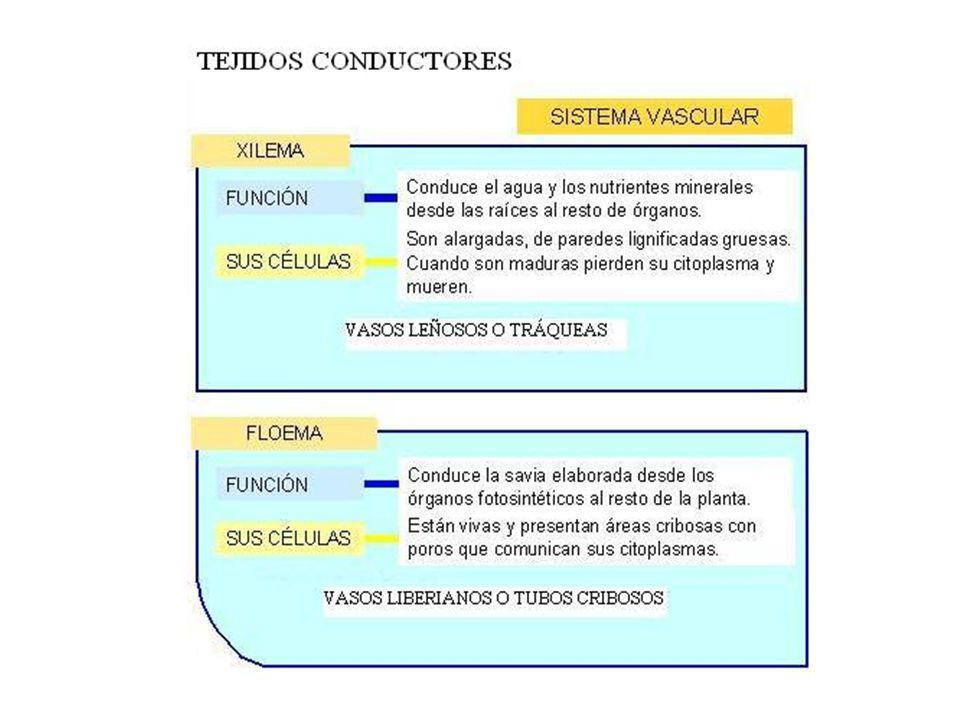 TEJIDOS SECRETORES Y EXCRETORES CÉLULAS EPIDÉRMICAS QUE ACUMULAN SUSTANCIAS AROMÁTICAS O URTICANTES (ROMERO, ORTIGA) BOLSAS SECRETORAS QUE ACUMULAN ESENCIAS (CORTEZA DE CÍTRICOS) TUBOS RESINÍFEROS (RESINA, PINOS) TUBOS LATICÍFEROS (HIGUERA, ÁRBOL DEL CAUCHO )