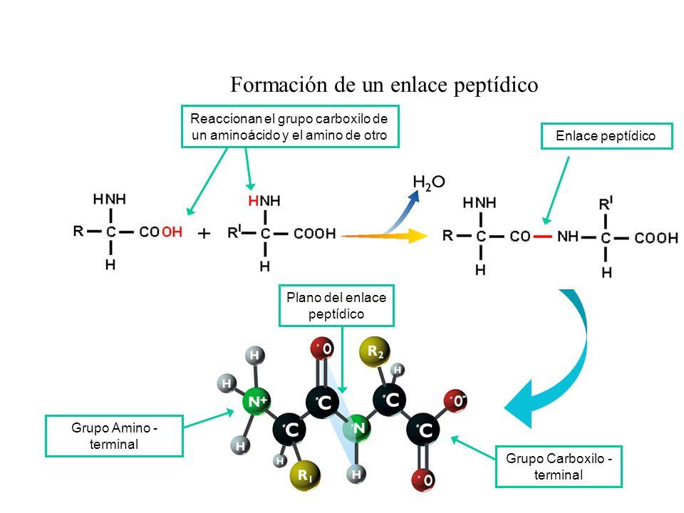Formación de un enlace peptídico Grupo Amino - terminal Grupo Carboxilo - terminal Plano del enlace peptídico Reaccionan el grupo carboxilo de un amin