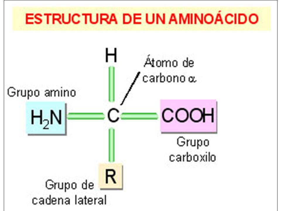 Formación de un enlace peptídico Grupo Amino - terminal Grupo Carboxilo - terminal Plano del enlace peptídico Reaccionan el grupo carboxilo de un aminoácido y el amino de otro Enlace peptídico