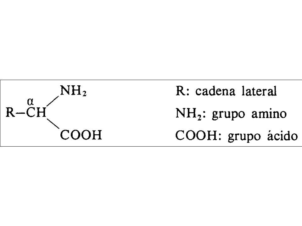 AMINOÁCIDOS ÁCIDOS (Carga negativa) Aminoácidos ácidos y básicos AMINOÁCIDOS BÁSICOS (carga positiva) Lisina (Lis) Arginina (Arg) Histidina (His) Ácido aspártico (Asp) Ácido glutámico (Glu)