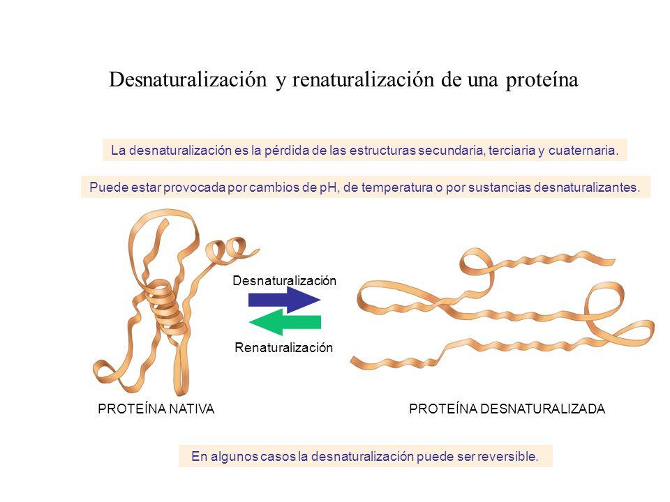 Desnaturalización y renaturalización de una proteína La desnaturalización es la pérdida de las estructuras secundaria, terciaria y cuaternaria. Puede