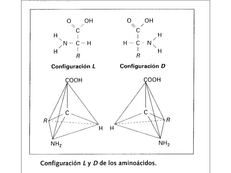 Estructuras proteicas Una proteína es un polipéptido con una disposición espacial tridimensional determinada y una función característica.