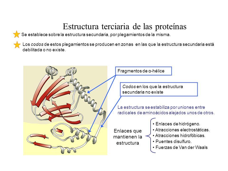 Estructura terciaria de las proteínas Se establece sobre la estructura secundaria, por plegamientos de la misma. La estructura se estabiliza por union