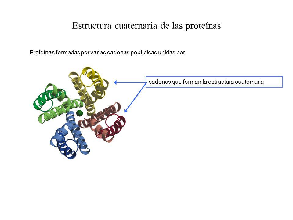 Estructura cuaternaria de las proteínas Proteínas formadas por varias cadenas peptídicas unidas por cadenas que forman la estructura cuaternaria