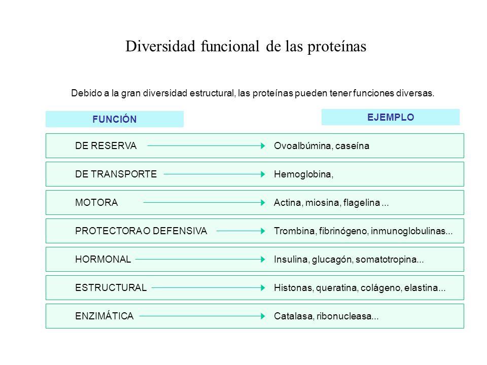 Diversidad funcional de las proteínas Debido a la gran diversidad estructural, las proteínas pueden tener funciones diversas. FUNCIÓN EJEMPLO Ovoalbúm