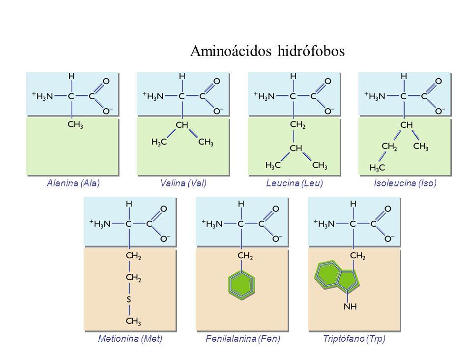 Aminoácidos hidrófobos Alanina (Ala)Valina (Val)Leucina (Leu)Isoleucina (Iso) Metionina (Met) Fenilalanina (Fen)Triptófano (Trp)