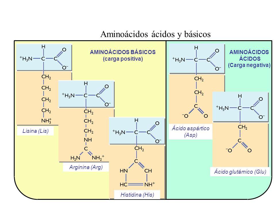 AMINOÁCIDOS ÁCIDOS (Carga negativa) Aminoácidos ácidos y básicos AMINOÁCIDOS BÁSICOS (carga positiva) Lisina (Lis) Arginina (Arg) Histidina (His) Ácid