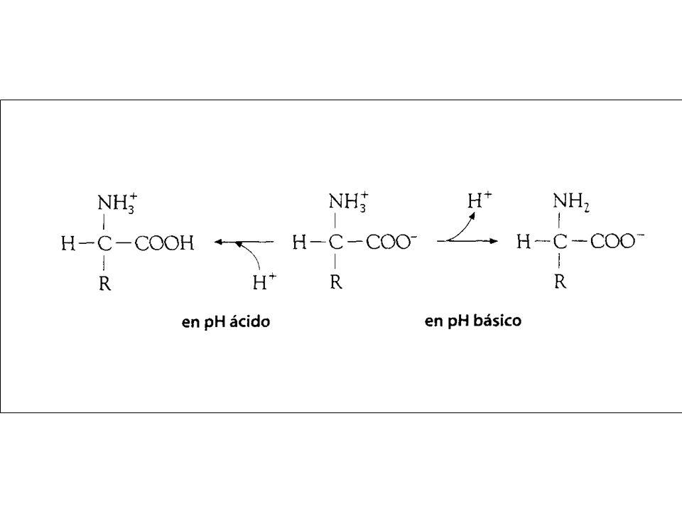 Enzimática Estructural Transporte Hormonal Defensiva Movimiento Regulación del pH Reconocimiento celular Reserva FUNCIONES DE LAS PROTEÍNAS