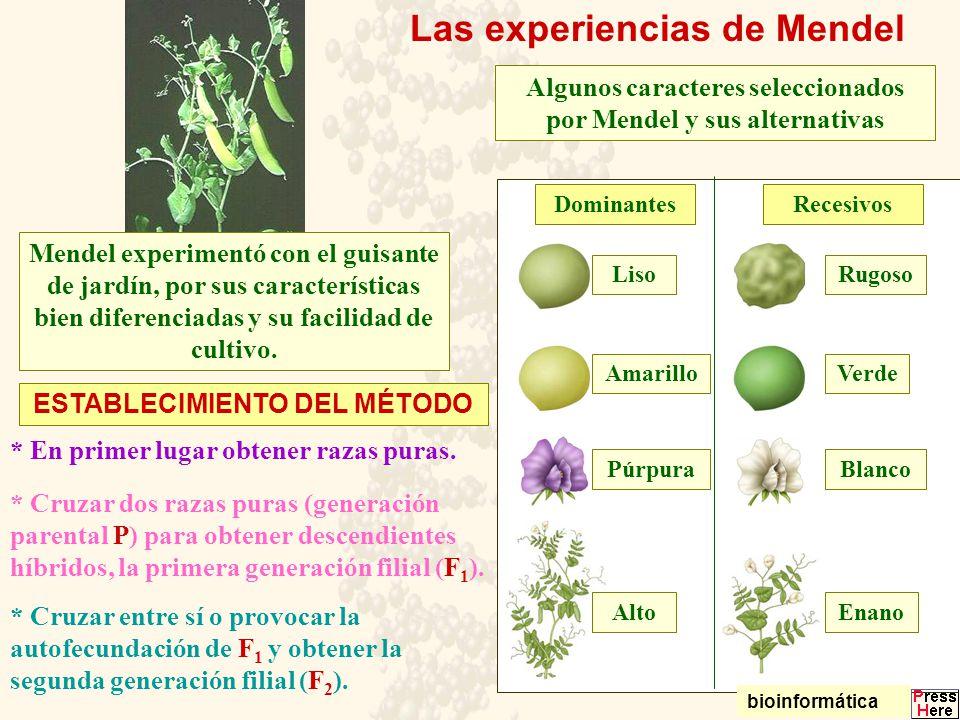 Las experiencias de Mendel Algunos caracteres seleccionados por Mendel y sus alternativas LisoRugoso AmarilloVerde PúrpuraBlanco AltoEnano DominantesR